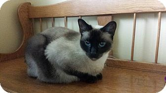Siamese Cat for adoption in Lomita, California - Whitey