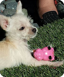 Maltese/Terrier (Unknown Type, Small) Mix Puppy for adoption in West LA, California - Mathilda