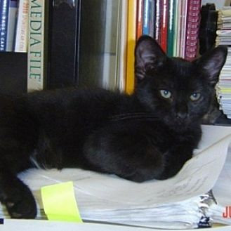 Domestic Shorthair Cat for adoption in St. Charles, Illinois - Babs