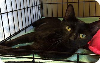 Domestic Shorthair Cat for adoption in Houston, Texas - Chestnut