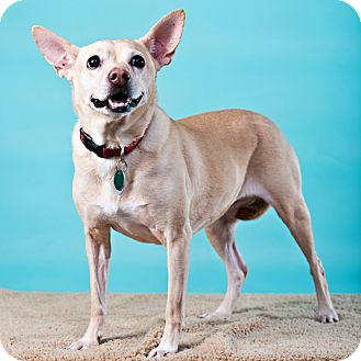 Chihuahua/French Bulldog Mix Dog for adoption in Houston, Texas - Trina
