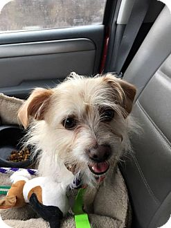 Terrier (Unknown Type, Small) Mix Dog for adoption in Sugar Grove, Illinois - Toby