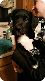 Labrador Retriever Mix Puppy for adoption in waterbury, Connecticut - Riggs