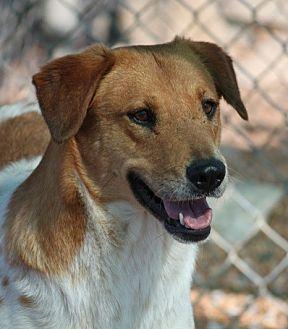 Cattle Dog/Sheltie, Shetland Sheepdog Mix Dog for adoption in Hooksett, New Hampshire - Cattle Kate (Video)