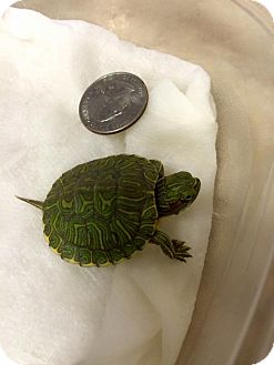 Turtle - Water for adoption in Spring Branch, Texas - Squirt