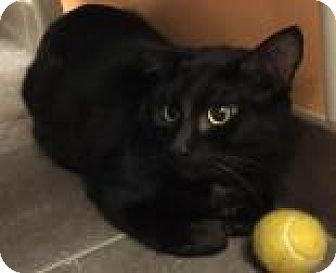 Domestic Shorthair Cat for adoption in Columbus, Georgia - Munchie 4928