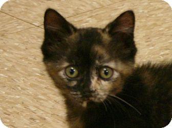 Domestic Shorthair Kitten for adoption in Hastings, Nebraska - Dilly Bar