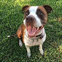 Adopt A Pet :: Sadie - Wylie, TX