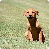Adopt A Pet :: Violet - South Dennis, MA
