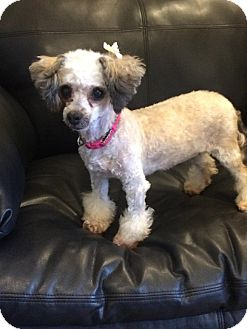 Poodle (Miniature) Dog for adoption in Henderson, Nevada - Candie