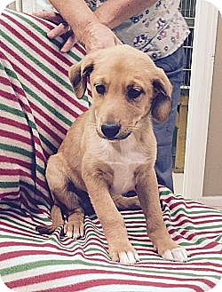 Collie/Labrador Retriever Mix Puppy for adoption in Washington, D.C. - Piper