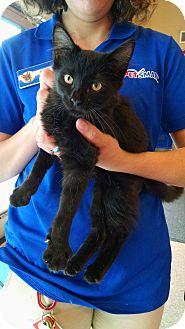 Domestic Mediumhair Kitten for adoption in Fischer, Texas - Nyjer