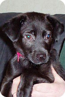 Labrador Retriever Mix Puppy for adoption in Palatine/Kildeer/Buffalo Grove, Illinois - Sabrina