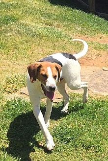 Beagle/Hound (Unknown Type) Mix Dog for adoption in Sherman, Connecticut - Mia