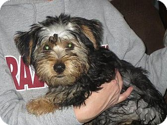 Yorkie, Yorkshire Terrier Puppy for adoption in Rochester, New York - Chunky Monkey