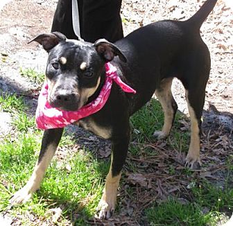 Shepherd (Unknown Type) Mix Dog for adoption in Voorhees, New Jersey - Jewel