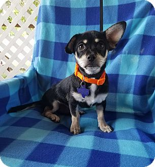 Chihuahua/Terrier (Unknown Type, Small) Mix Puppy for adoption in Hamilton, Ontario - Tango & Cash