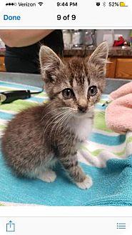 Domestic Shorthair Kitten for adoption in Carroll, Iowa - Dawson