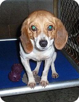 Beagle Dog for adoption in Ashland, Virginia - Misha-ADOPTED!!!
