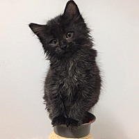 Adopt A Pet :: Caboose - Vancouver, BC