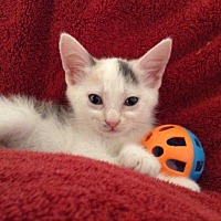 Adopt A Pet :: Minion - Palm Desert, CA