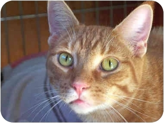 Domestic Shorthair Cat for adoption in Vista, California - Sparky