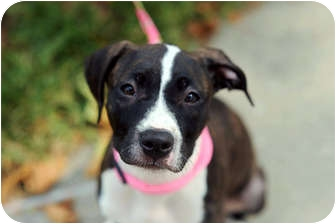 American Pit Bull Terrier Mix Puppy for adoption in Reisterstown, Maryland - Julia