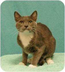 Domestic Shorthair Cat for adoption in Sacramento, California - Luca
