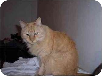 Domestic Mediumhair Cat for adoption in Kingsport, Tennessee - Moses