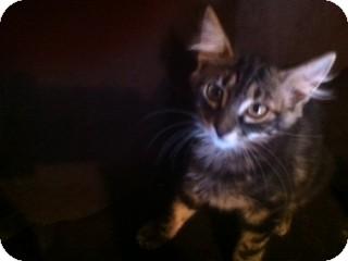 Domestic Mediumhair Kitten for adoption in Weatherford, Texas - Moon