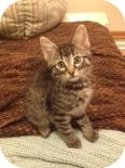 Domestic Shorthair Kitten for adoption in West Des Moines, Iowa - Barney