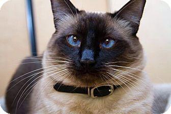 Siamese Cat for adoption in Irvine, California - Peyton