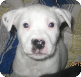 Border Collie/Bull Terrier Mix Puppy for adoption in Chicago, Illinois - Bambi
