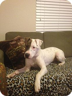 Boxer/American Pit Bull Terrier Mix Puppy for adoption in Morgantown, West Virginia - Chance