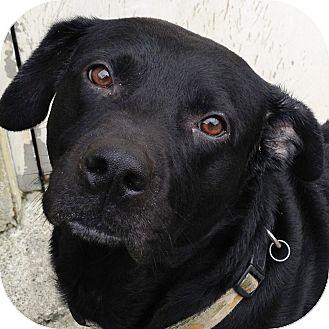 Labrador Retriever Mix Dog for adoption in Ithaca, New York - Twister