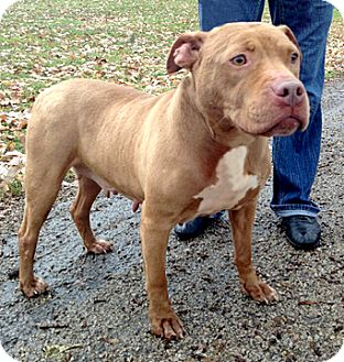 Pit Bull Terrier Mix Dog for adoption in Cincinnati, Ohio - Princess
