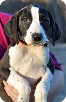 Labrador Retriever/Hound (Unknown Type) Mix Puppy for adoption in Salem, New Hampshire - PUPPY DOVE