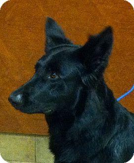 German Shepherd Dog/Belgian Shepherd Mix Dog for adoption in Oswego, Illinois - Callie