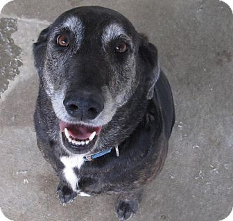Labrador Retriever/Hound (Unknown Type) Mix Dog for adoption in Chicago, Illinois - Lucy**ADOPTED**