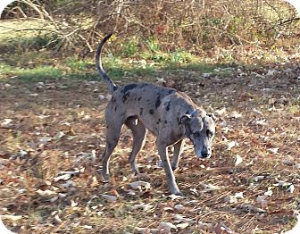 Catahoula Leopard Dog/Great Dane Mix Dog for adoption in Eustace, Texas - Boomer
