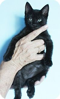 Domestic Mediumhair Kitten for adoption in North Highlands, California - Tesla