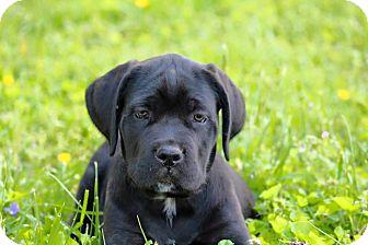 Cane Corso Puppy for adoption in Virginia Beach, Virginia - Basil