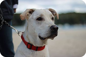 Labrador Retriever Mix Dog for adoption in Sagaponack, New York - Ollie