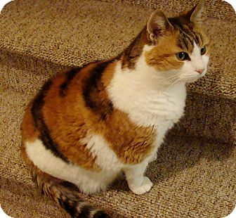 Calico Cat for adoption in Waldorf, Maryland - Mollie