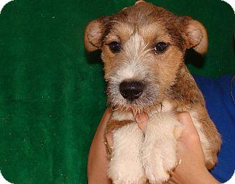Schnauzer (Standard)/Irish Terrier Mix Puppy for adoption in Oviedo, Florida - Dango
