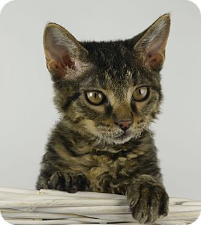 Domestic Mediumhair Kitten for adoption in LAFAYETTE, Louisiana - LONG TAIL SALLY