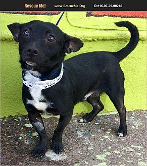 Beagle/Chihuahua Mix Dog for adoption in Phoenix, Arizona - Pepsi