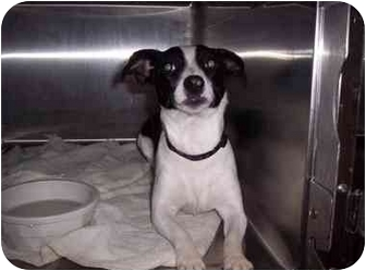 Jack Russell Terrier/Rat Terrier Mix Puppy for adoption in Houston, Texas - Zay