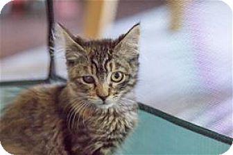 Domestic Shorthair Kitten for adoption in Lincoln, California - Maple