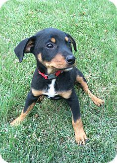 Doberman Pinscher/Labrador Retriever Mix Puppy for adoption in Eden Prairie, Minnesota - Max
